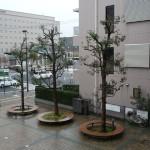 パルメイト広場のクスノキ